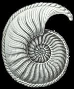 Ammonitie